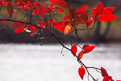 Redleaves (Scriblerus) Tags: red rouge foliage autumnal northandover weirhill lakecochichewick