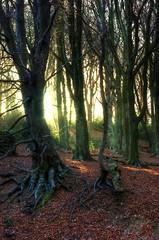 Beech trees (GaryJohn) Tags: winter woodland 50mm pentax hdr beechtrees garyjohn k10d