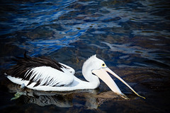 Australia-120327-145 (Kelly Cheng) Tags: travel white color colour bird tourism nature water sunshine animals horizontal fauna daylight colorful day outdoor vivid sunny australia nobody nopeople pelican augusta colourful copyspace westernaustralia traveldestinations
