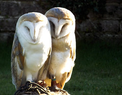 Pair or hooters (Breatnac Photography) Tags: wedding two bird pair prey owls