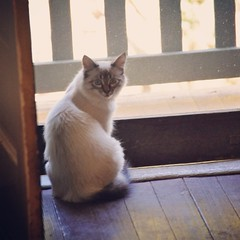 Hi Neville (liquidnight) Tags: cats pets animals nikon kitten doorway mainecoon felines katzen screendoor neville lynxpoint kittytv d90 kittentv uploaded:by=flickrmobile flickriosapp:filter=nofilter