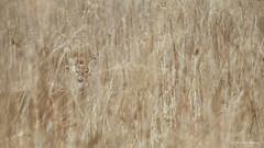 Hidden in the Tall Grass (Philing Phrames) Tags: ohio nikon deer antlers buck maumee maumeeriver d600 7020028 sidecutpark