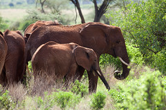 Elephant family (pinguino) Tags: africa kenya adventure safari masaimara maasaimara
