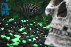 Babies! (* NightHawk24 *) Tags: fish fry babies cichlids convict rl 2df blackconvict