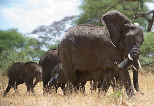 "safari tanzania Tarangire • <a style=""font-size:0.8em;"" href=""http://www.flickr.com/photos/113706807@N08/11905106673/"" target=""_blank"">View on Flickr</a>"