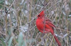 'Light Dusting' (Baltimore Bartender) Tags: snow cardinal marylandbirds