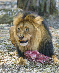 A male lion and his meat
