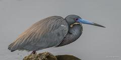 Tri-colored Heron (craig goettsch) Tags: bird nature nikon florida wildlife ngc sanibelisland tricoloredheron d600 dingdarlingnationalwildliferefuge coth5 sunrays5