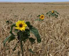 Yellow and Green Colour Splash (Tones Corner) Tags: barley rural grain sunflower otagonz nzscene