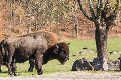 Toronto_Zoo_renzyd-23 (renzyd) Tags: toronto zoo bison torontozoo