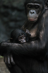 Baby Bonobo 2 (Mark Dumont) Tags: baby animals mammal zoo mark cincinnati primate bonobo dumont