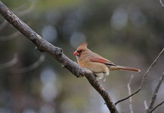 Female Cardinal (thoeflich) Tags: birds cardinal femalecardinal