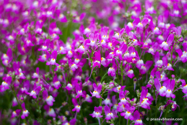Small Purple Flowers, At Leisure Valley, Gurgaon