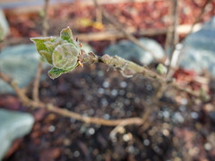 this plant's Spring glory has been a nice surprise (dreamsjung) Tags: washington spring olympia ourhouse february rockwall yarden oly earlyspring 2014 loniceracaerulea honeyberry bluebasalt ouryarden