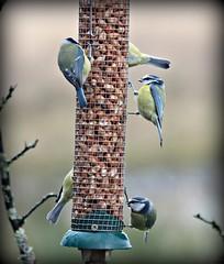 RSPB Reserve , Lochwinnoch , Scotland . (jackatlargs) Tags: birds tits rspb lochwinnoch jjb