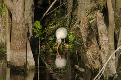 Gone Fishing (smmoran) Tags: florida ibis swamp everglades cypress bigcypress southflorida bigcypressnationalpreserve