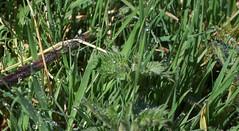 grass dew gras tau