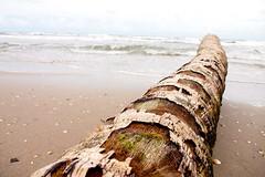 Downed Palm on Manzanilla Beach (SBPR) Tags: travel vacation holiday beach island olympus trinidad caribbean isla trinidadtobago ep3 caribe westindies trinidadandtobago trinbago uncommoncaribbean