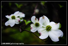 Dogwood Blooms (MR MARK   photography) Tags: flower tree ga georgia bloom dogwood blooms dogwoods alpharetta