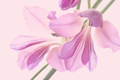wild gladiolus (Wendy:) Tags: pink macro 100mm wildgladiolus gladioluscommunisbyzantinus tp933