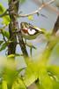 _53F2186 Chestnut-sided Warbler (~ Michaela Sagatova ~) Tags: dundas chestnutsidedwarbler dendroicapensylvanica woodwarbler birdphotography dvca michaelasagatova spring2014