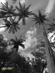 A Anse des Cascades (robertgeb) Tags: blackandwhite noiretblanc ile des cascades palmiers anse ledelarunion