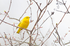 _53F8133 Yellow Warbler (~ Michaela Sagatova ~) Tags: dundas yellowwarbler dendroicapetechia woodwarbler birdphotography dvca michaelasagatova spring2014