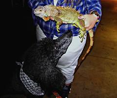 The Night of the Iguana (Midnight and me) Tags: dog iguana poodle midnight curiosity southbeach lincolnroad standardpoodle blackstandardpoodle thenightoftheiguana midnightandme curiousmidnight poodleandiguana