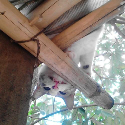 ขุ่นแม่ช่วยนู๋ด้วย #ขึ้นได้แต่ลงไม่ได้ #ตาหวาน  #แมวจอมป่วน