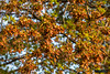Loaded with Seeds (BSimpson81) Tags: tree maple seed helicopter pods