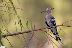 Hoopoe, Wiedehopf, Upupa epops @ HaYarkon Park, Tel Aviv, Israel, 2015, urban nature (Jan Rillich) Tags: park urban sun nature beautiful beauty animal fauna digital photography eos israel photo telaviv flora foto fotografie image jan wildlife picture free sunny urbannature guest upupaepops hoopoe 2015 animalphotography hayarkon wiedehopf nahalhayarkon janrillich rillich