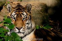 Siberische tijger - Panthera tigris altaica -  Siberian Tiger (MrTDiddy) Tags: male cat mammal zoo big kat feline tiger rip bigcat antwerp siberian tijger tigris antwerpen zooantwerpen amur grote panthera mannelijk altaica zoogdier amoer grotekat siberische kharlan