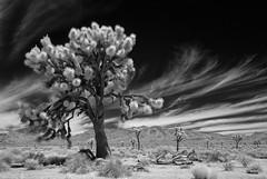 US-CA Joshua Trees NP - Cirrus Skies 2016-07-09 (N-Blueion) Tags: