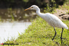 Egret (rvk82) Tags: 2016 birds egrets india mugaiyur nature nikkor200500mm nikon nikond500 october2016 photography rvk rvkphotography raghukumarphotography southindia tamilnadu wildlife rvkphotographycom in rvkonlinecom