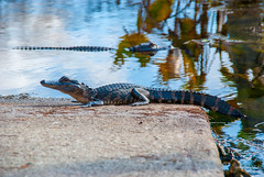 Grassy Waters Gator (acarter5251) Tags: florida gator wildlife alligator waters wetland grassy