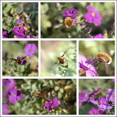 busy bee (Wilma van Oorschot) Tags: flowers macro collage flying purple insects bee flowerswithinsects leicadlux5