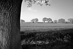 Cheshire fields..... (Dafydd Penguin) Tags: blackandwhite tree landscape nikon cheshire bark 24mm nikkor f28 d600