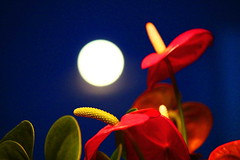 A different kind of moon shot (peggyhr) Tags: blue red moon white canada green window glass leaves vancouver bc bluehour peggyhr anthuriumlilies img1082a