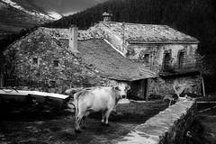 rural world (Ferran.) Tags: cow casa mas catalonia pyrenees vaca neva pirineus ripolles poble