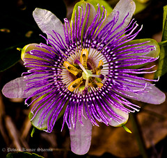 Passion Flower (Leo Lucky) Tags: flowers flower macro closeup nikon purple violet uga passionflower tifton pawan pawankumar d5100 flowerthequietbeauty