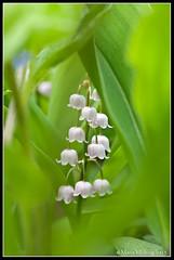 Liljekonvalj (mmoborg) Tags: flowers sweden sverige blommor mmoborg mariamoborg