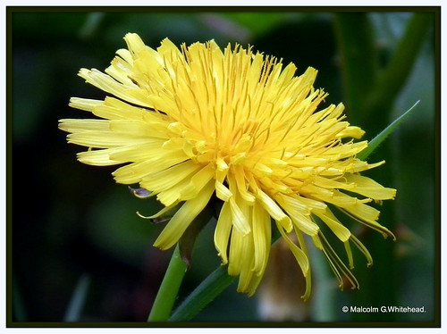 Common Dandelion  (  Taraxacum officinale  )