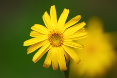 Yellow flower (LisaOlsson) Tags: flower yellow blomma gul