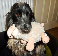 The Look of Guilt (Photo Gal 2009) Tags: blackandwhite toy holding otis sheep lamb ba browneyes cockerspaniel baa dogtoy hold guilty guilt blackandwhitedog lamby blueroan englishcockerspaniel lookguilty sheeptoy sofytoy holdingtoy cuddleytoy lambtoy thelookofguilt blueroanspaniel cockerboy showtypecockerspaniel