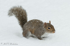 Squirrel in the snow (Rick Smotherman) Tags: winter snow stpeters nature canon garden outdoors morninglight backyard feeding overcast 7d february canon300mmf4l canon7d