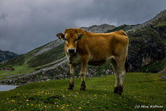Miradas (dermasi) Tags: espaa max animal canon eos cow spain asturias vaca covadonga kettner amateurphotography 1100d maxkettner