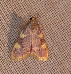 088674 Hypsopygia costalis (rene odeide) Tags: goldtriangle hypsopygiacostalis pyraledufourrage
