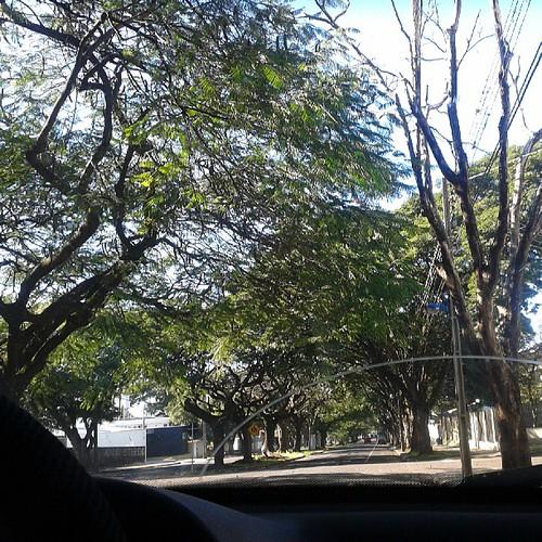 As ruas aqui são todas assim! Delícia! #maringa #tree #árvore