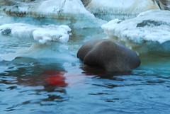 Walrus Hunt 8_5_13 1 280 (efusco) Tags: ocean sea ice alaska native arctic butcher hunter beaufort walrus hunt midnightsun iceburg floe inupiat inupiaq aivik femalewalrushunt85131