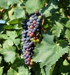 The Grapes are Ready (Vecchia Casa Umbria) Tags: summer italy countryside italia estate wine august agosto grapes uva umbria vino grapevines viti vecchiacasa ruralumbria